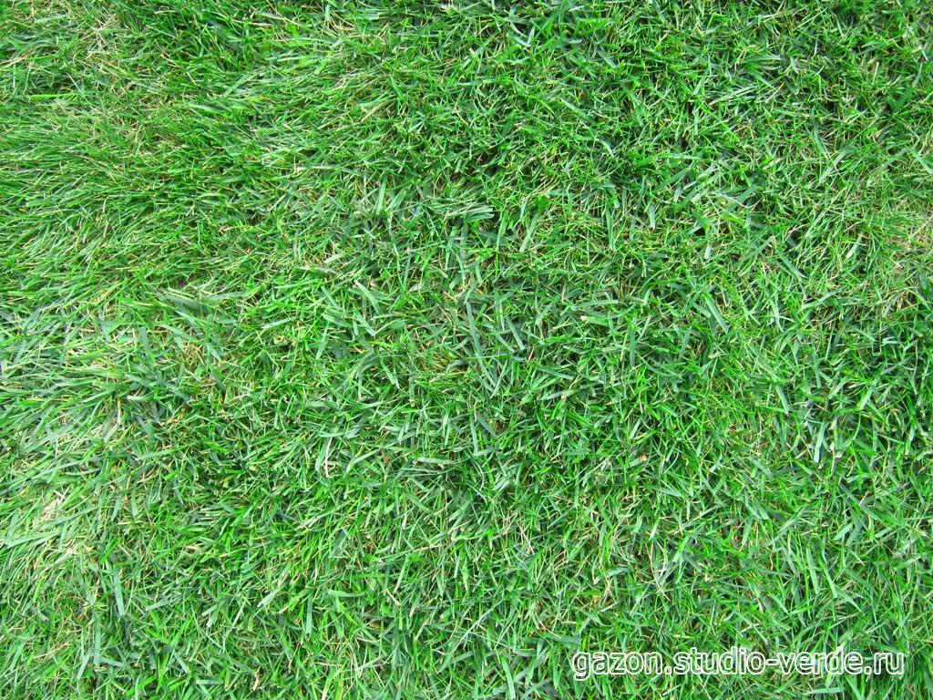фото спортивного газона из овсяницы красной